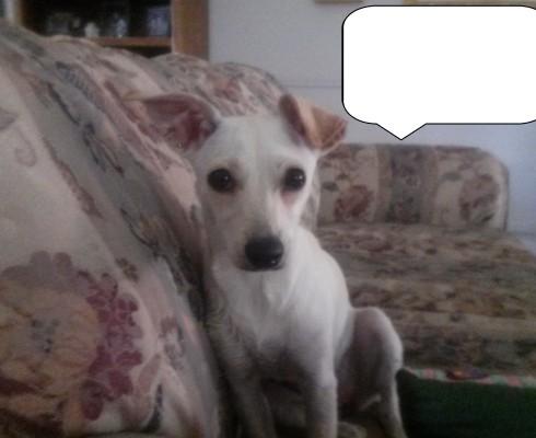 LOST WHITE SMALL DOG