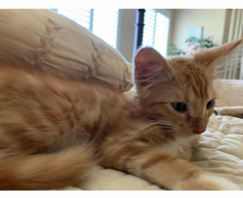 I lost my orange tabby, 6 months old with chip.