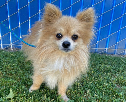 CAS SEARCHING FOR OWNER: Pomeranian, Male, 4/12/21