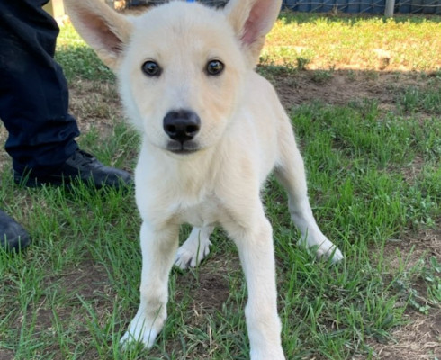 CAS SEARCHING FOR OWNER: Husky, Male, 5/14/21