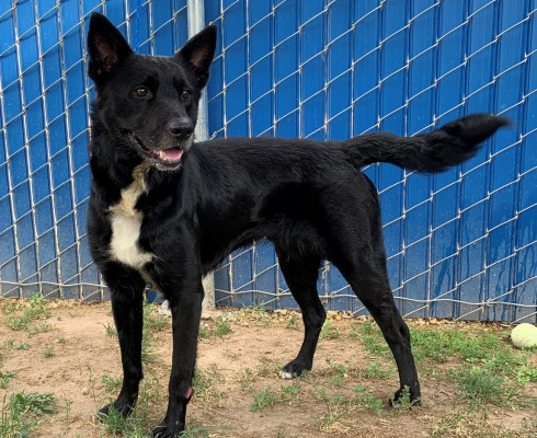 CAS SEARCHING FOR OWNER: Shepherd Mix, Male, 6/9/21