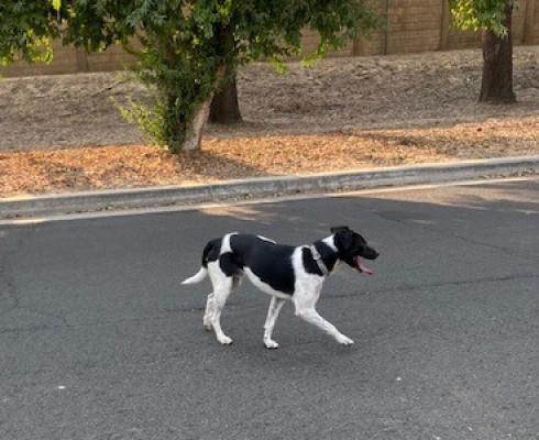 Black & White male dog