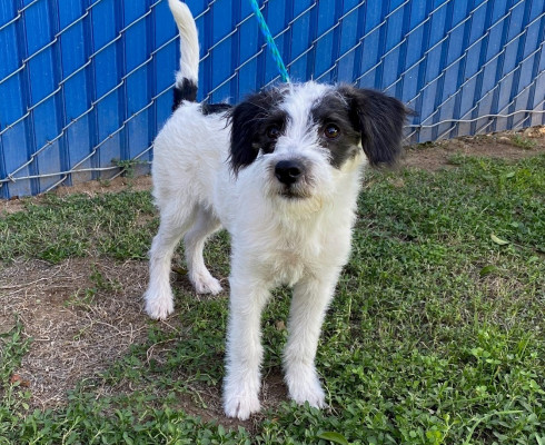 CAS SEARCHING FOR OWNER: Terrier, Male, 10/15/21