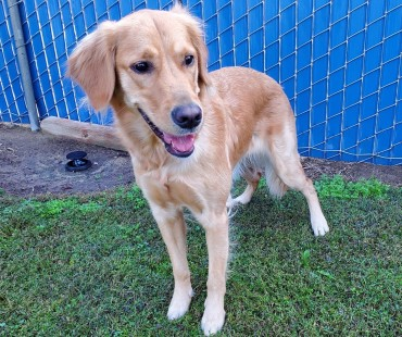 CAS SEARCHING FOR OWNER: Golden Retriever, Female, 11/16/20