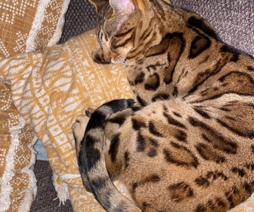 I lost my spotted brown cat