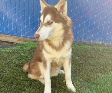 CAS SEARCHING FOR OWNER: Husky, Male, 11/19/20