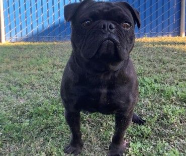 CAS SEARCHING FOR OWNER: Pug, Female, 11/19/20