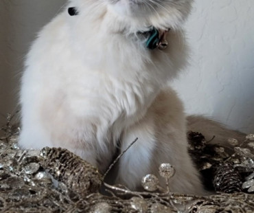 Lost white and grey Balinese cat