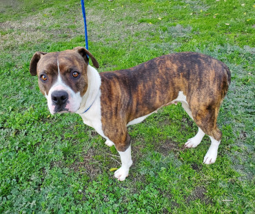 CAS SEARCHING FOR OWNER: Boxer Mix, Female, 1/20/21