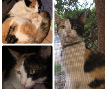 Lost Female Calico