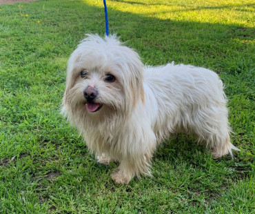CAS SEARCHING FOR OWNER: Maltese Mix, Male, 2/17/21