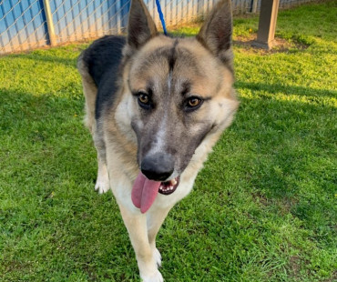 CAS SEARCHING FOR OWNER: German Shepherd, Male, 2/25/21