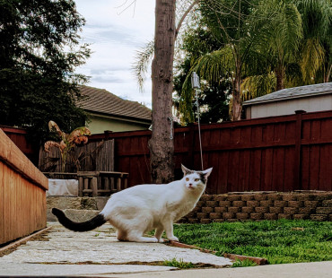 Lost white cat with black tail