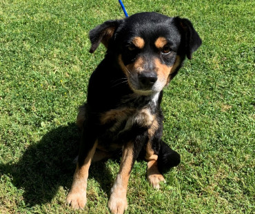 CAS SEARCHING FOR OWNER: Terrier Mix, Female, 3/31/21