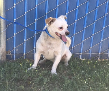 CAS SEARCHING FOR OWNER: Chihuahua, Male, 5/2/21