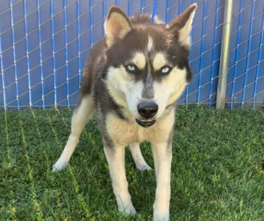 CAS SEARCHING FOR OWNER: Husky, Male, 5/2/21