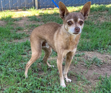 CAS SEARCHING FOR OWNER: Chihuahua Mix, Male, 5/6/21